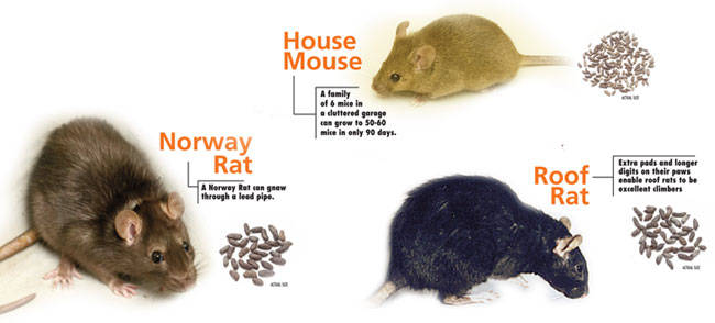 Rat Extermination - Portland OR Vancouver WA, rodent control