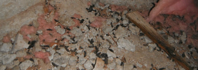 Rodent droppings. portland pest control, Deer Mouse, Mouse exterminator, Mouse infestation, pest control,