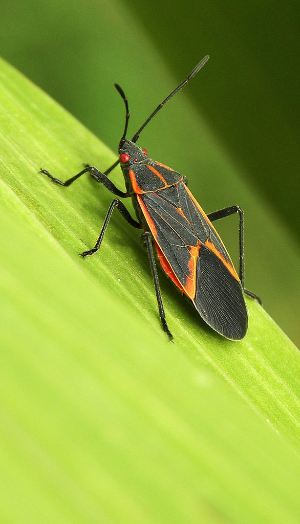 boxelder bug, is a boxelder bug bad?, Bloom Bug Blog, PDX Pest Control