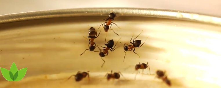Ant Extermination, portland ant control, pest control, bloom pest control, bloom crawl space services, bloom pest, pest control, pest exterminator, sugar ant exterminator
